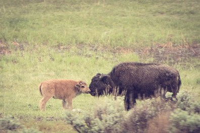 a baby bison noses with its mother in Yellowstone National Park NotSoSAHM