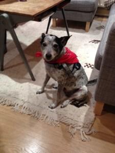 Doggy in bandana