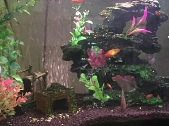 mollies in an aquarium