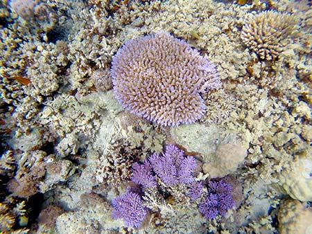 purple coral in palau