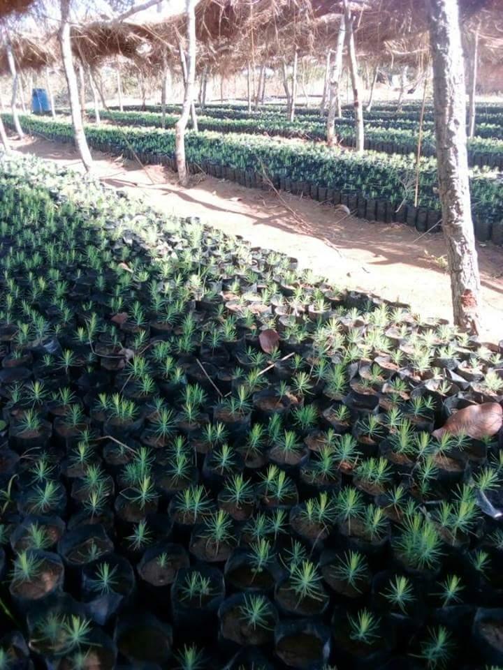 pepiniere arbre tanzanie