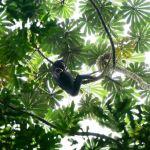 singe bonobo foret congo