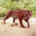 proteger tigre malaisie
