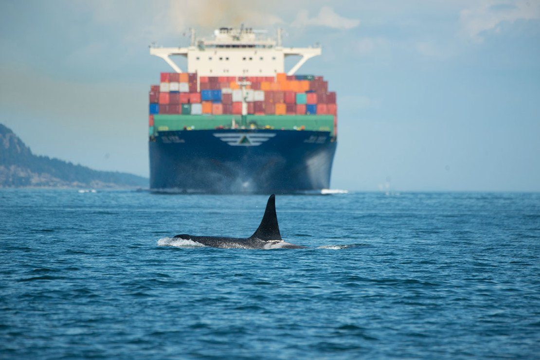 An orca surfaces with a container ship in the distance