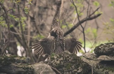 Ruffed Grouse Conservation