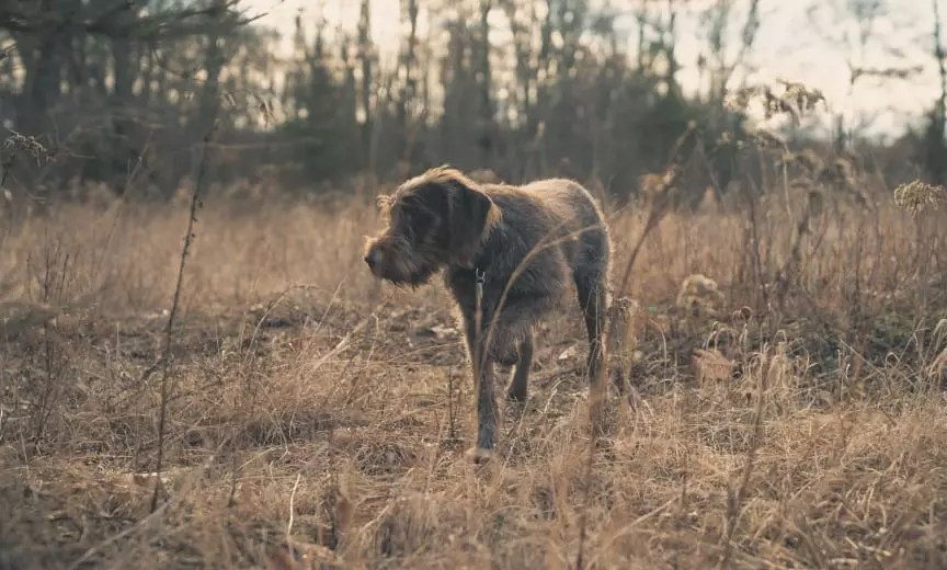 Wirehaired-Pointing-Griffon - Project Upland