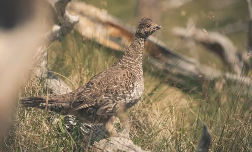 a dusky grouse