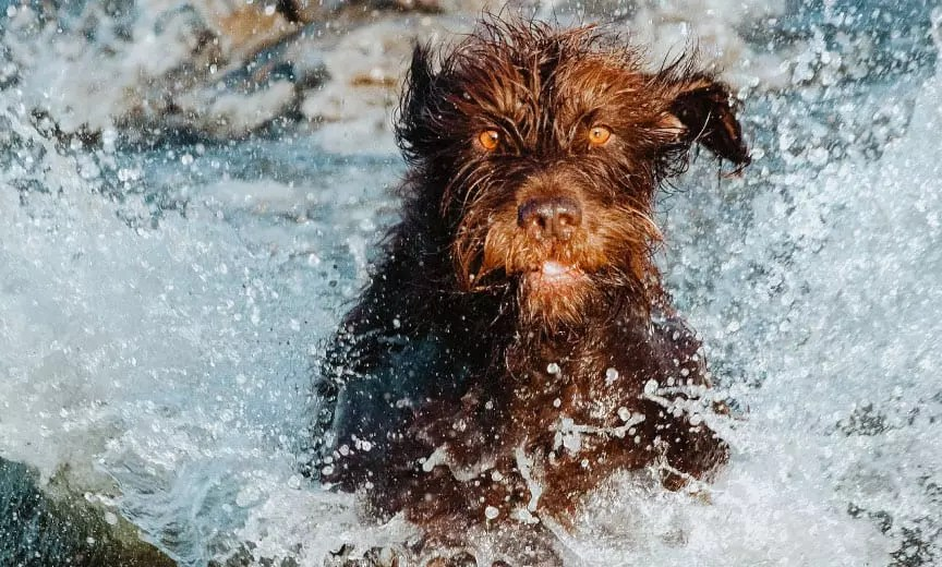 A Pudelpointer making a water retrieve.