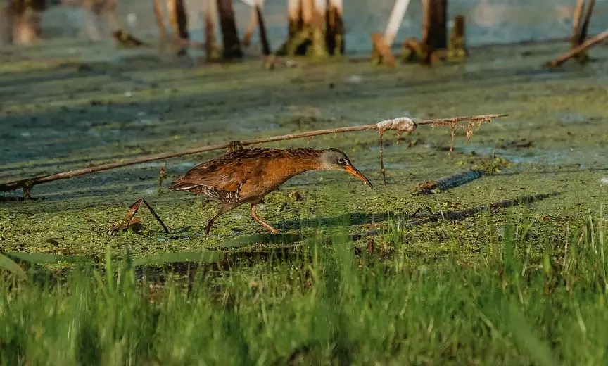 A Virginia rail makes its way through the wet edge of a marsh.