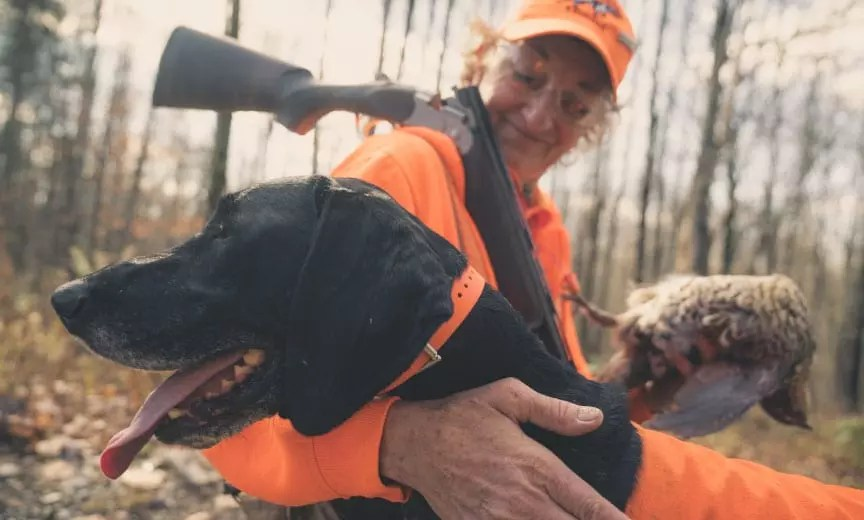 A German shorthaired pointer with a ruffed grouse in Maine