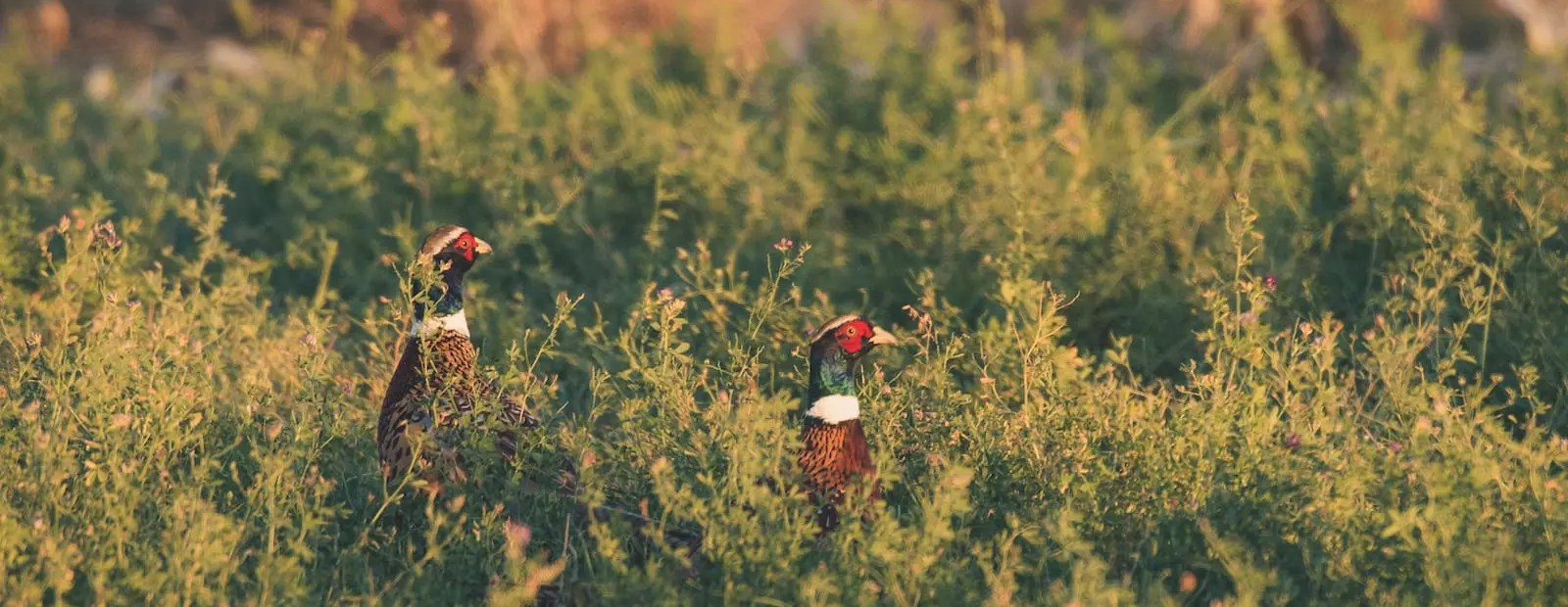 Two rooster pheasants stand in a green field