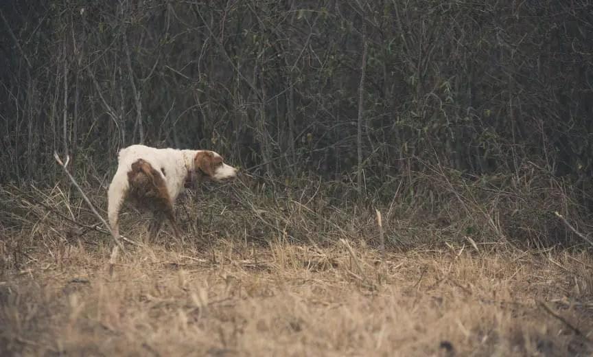 A bird dog on point while bobwhite quail hunting