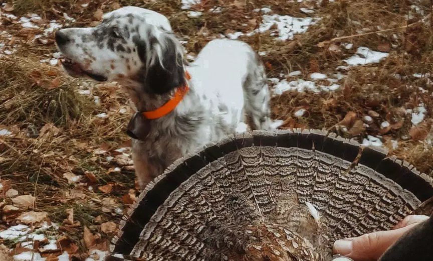 An English setter wearing a bell grouse hunting