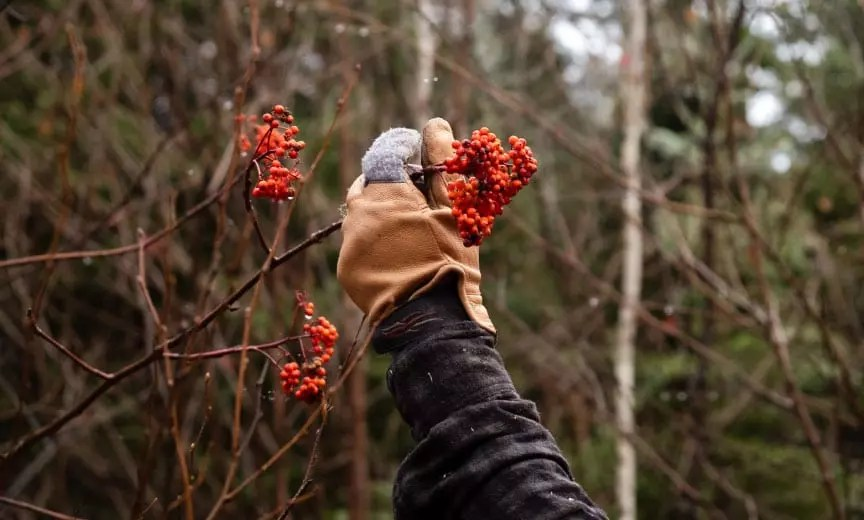 A grouse hunter shows mountain ash inside prime grouse habitat.