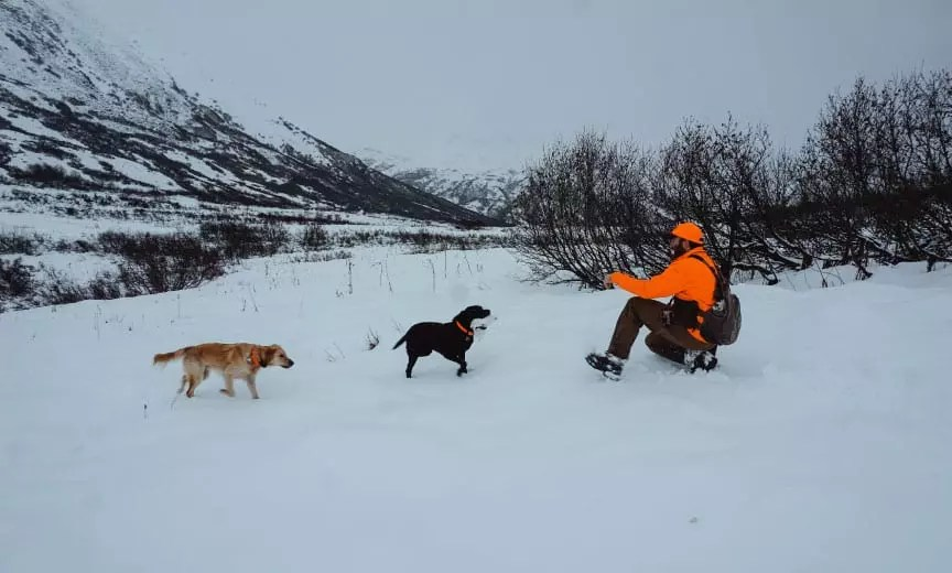 A white-tailed ptarmigan being retrieved by a bird dog.
