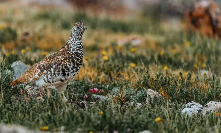 A white-tailed ptarmigan walks along a mountain meadow.