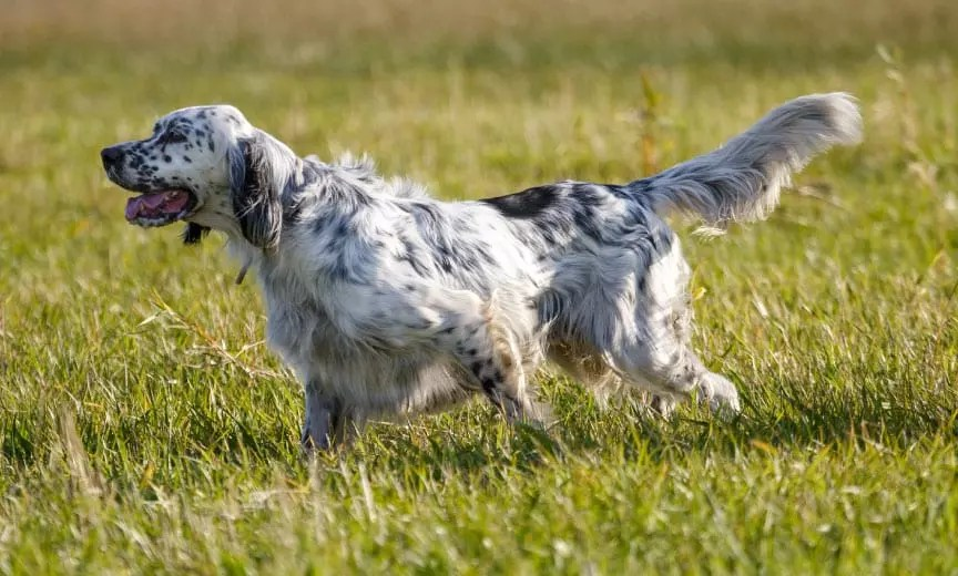 An English setter being trained in a field