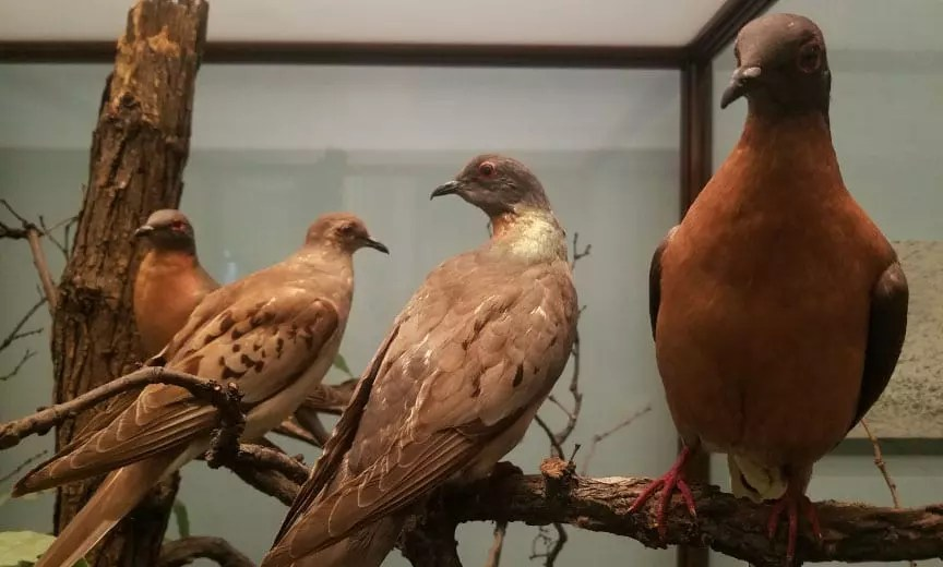 passenger pigeons at the Chicago Field Museum of Natural History