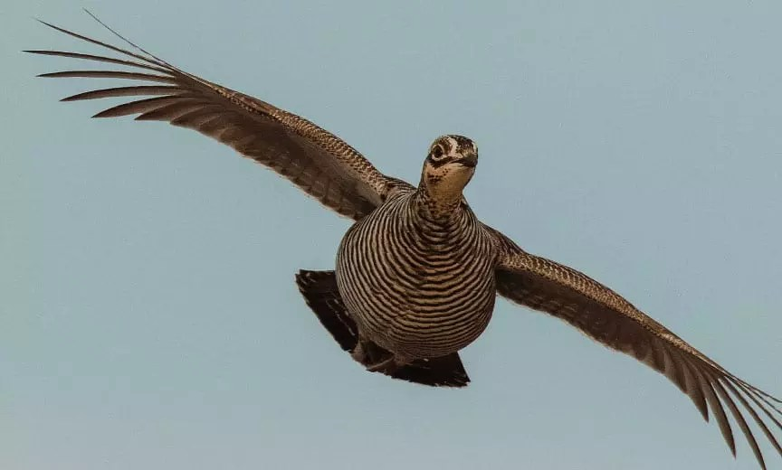 A prairie grouse flying in the air