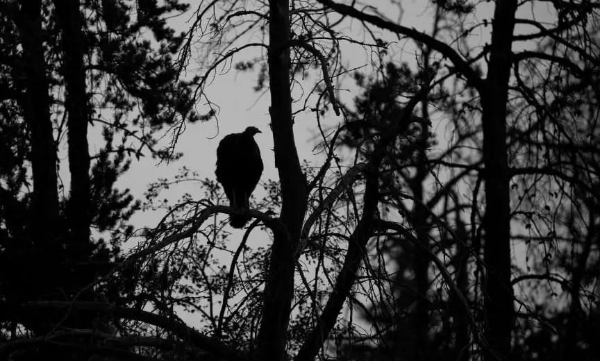 A hen turkey sitting on a tree limb.