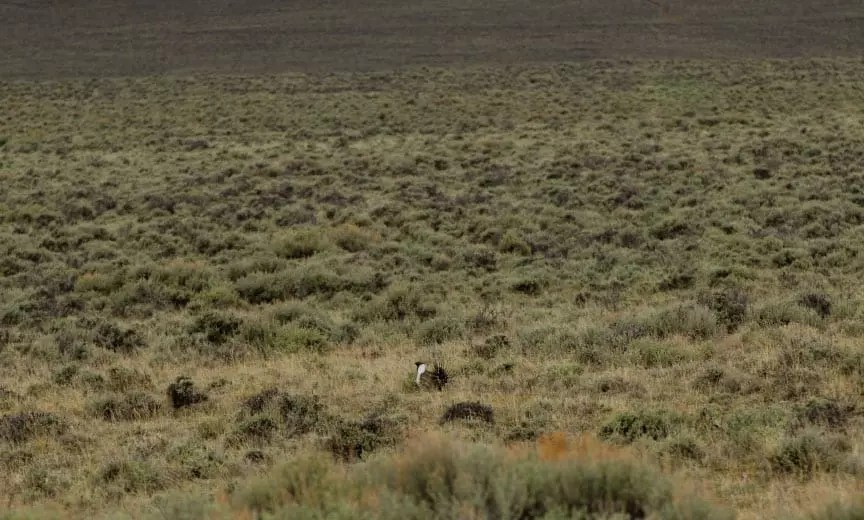 A lone sage grouse on a lek in Montana