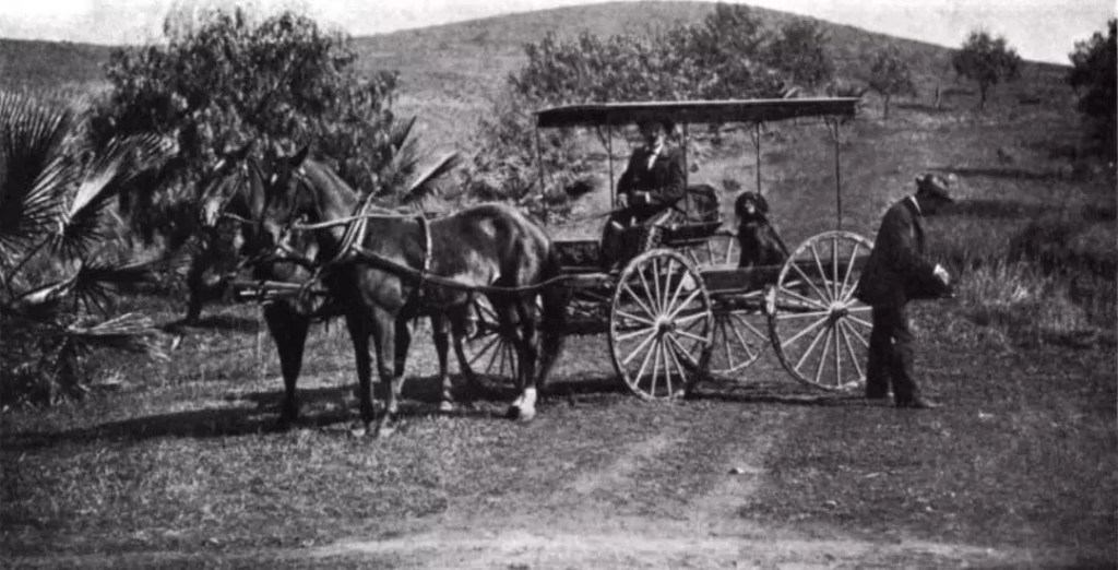 An old original photo of a Gordon Setter in a horse cart in Riverside county 1896