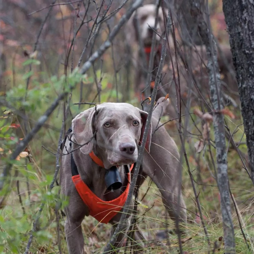 A Weimaraner pointing with a dog backing