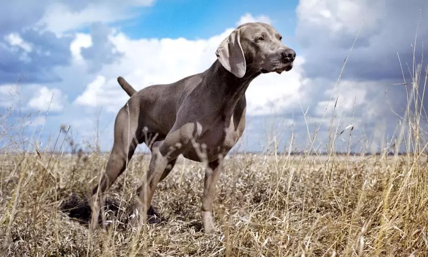 A Weimaraner hunting in a field.