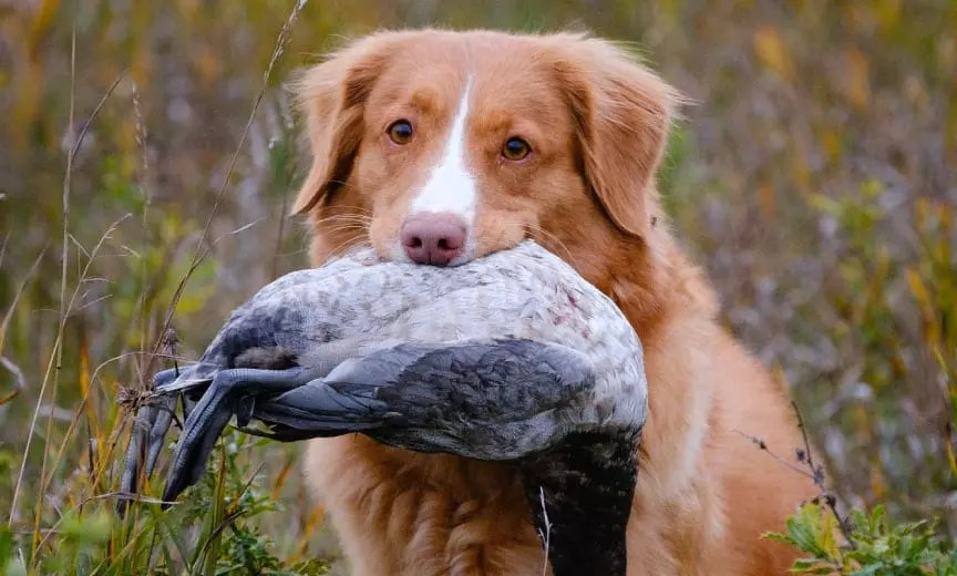 A Nova Scotia Duck Tolling Retriever with a Duck in his mouth.