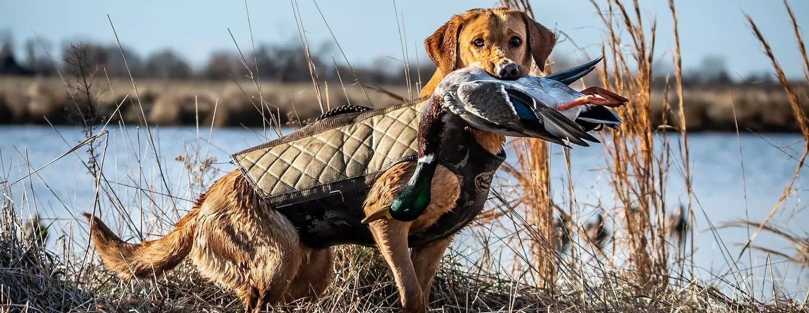 A British Lab holds a male mallard duck while hunting