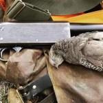 A vintage pump shotgun with a female California quail