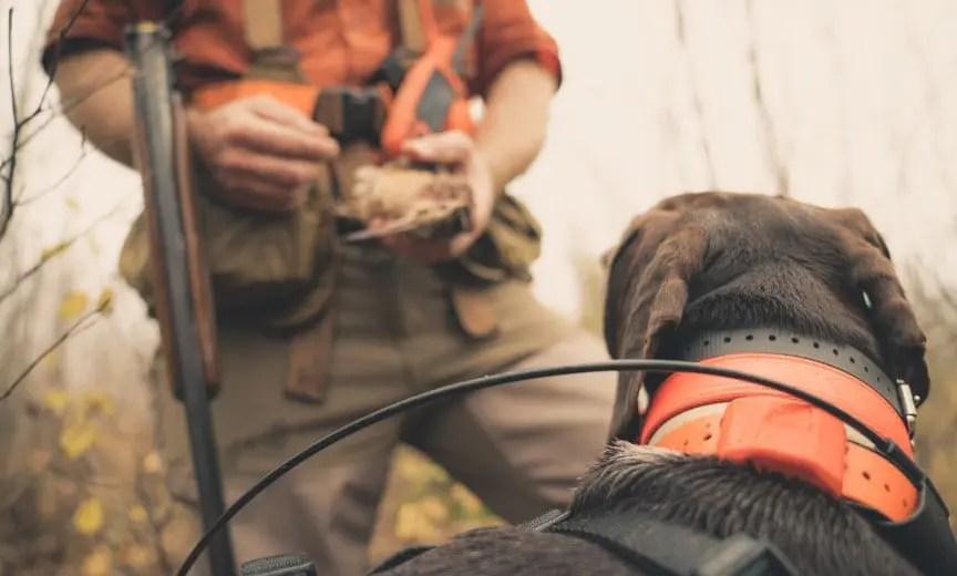 A bird dog retrieves a woodcock to hand.