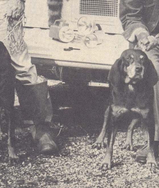 A historic photo of coonhounds at a tailgate with raccoon hunters
