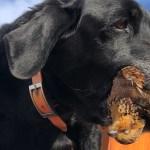 A black labrador holds a female bobwhite quail