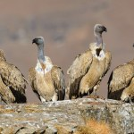 Cape Vultures Perched