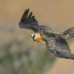 Adult Bearded Vulture in flight