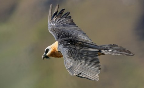 Bearded Vulture in flight