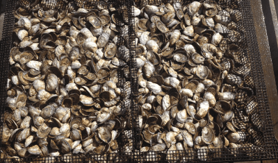 Small but Mighty: Oyster Aquaculture as a Tool to Improve Ecosystem Health