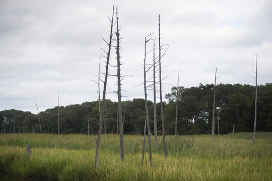 In a changing climate, ghost forests of the Delaware Bay testify to saltwater's power