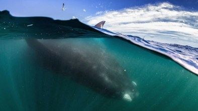A-southern-right-whale-mother-seen-under-a-whale-watching-boat-in-Peninsula-Valdez-Argentina (1)