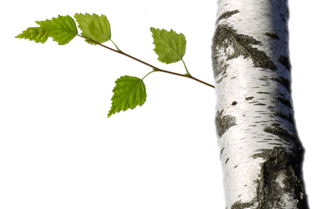 Le Bouleau, savoir des plantes : Faire le premier pas