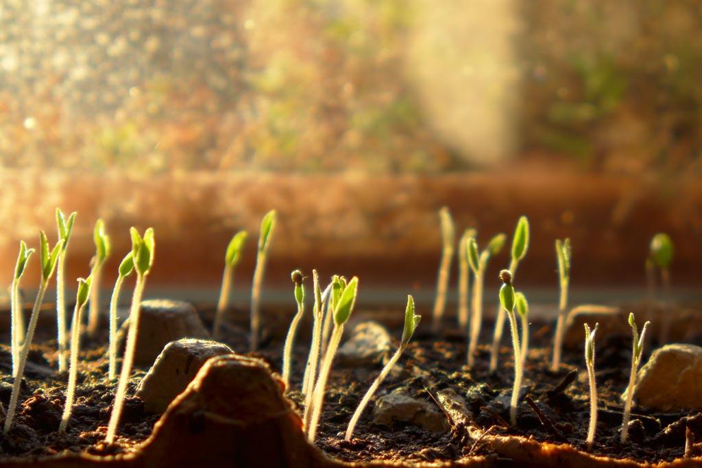 pousse emergeant de terre
