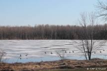 Outardes sur le lac encore gelé