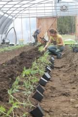 Les tomates avant leur plantations