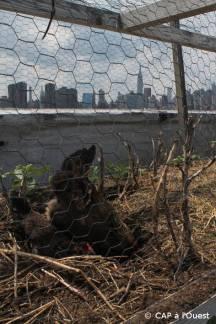 Poules avec vue sur Manhattan Eagle Farm