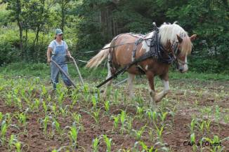 Sarclage du mais et du sorgho avec le cheval