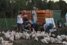 La chaîne de poulets jusqu'aux casiers de la remorque