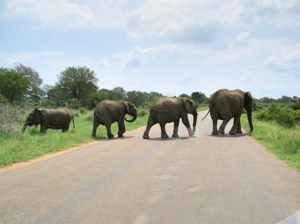 Elefantes no Kruger Park
