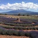 Mt Shasta - Campos de Lavanda - USA