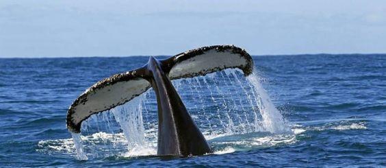 http---www.bolsadeviagem.com.br-wp-content-uploads-2015-07-Calda-de-uma-baleia-jubarte